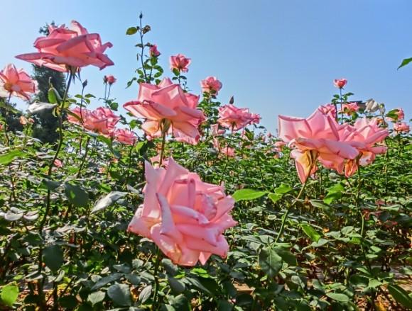 薔薇好きにはたまらない!首都圏のバラスポット&ローズイベント4選