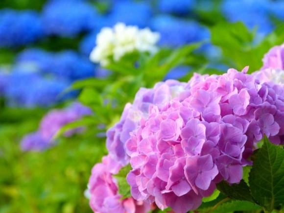 あじさい好きにはたまらない!首都圏の紫陽花スポット5選