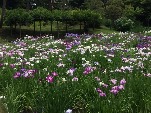 6月の小石川後楽園ってどんなところ?花菖蒲を見てきた感想など