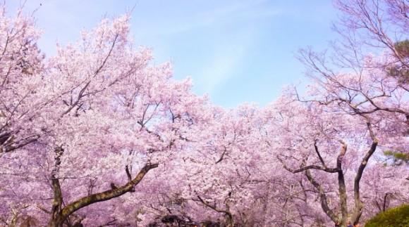 JR山手線沿線の駅近な花見スポット7選!ちょっと寄り道&はしごOK!